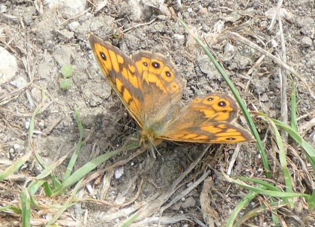 view of a Wall Brown resting on the ground showing upper wingss