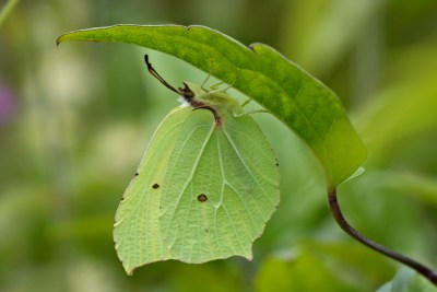 Greeny yellow butterfly hanging under a leaf of a slightly deeper shade of green