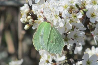 Greenish butterly on bright white blossom