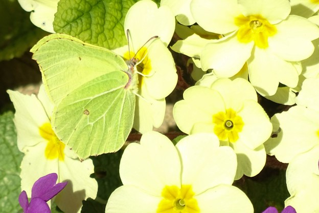 Bright yellow butterfly on paler yellow primroses