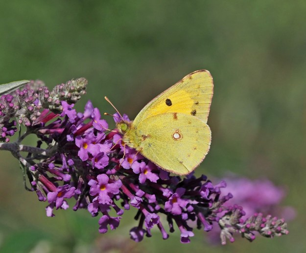 Yellow butterfly on rich purple buddlia flower spike