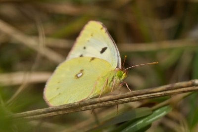 Pale yellow butterfly with black marks and a white spot