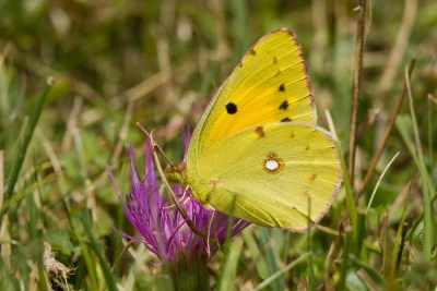 Warm yellow butterlfy with some black marks and a white spot.