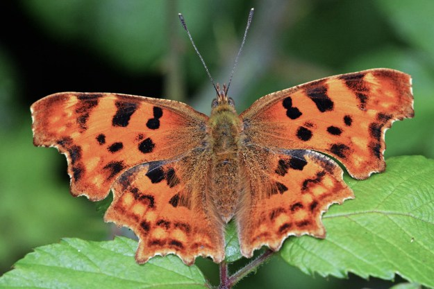 Orange butterfly with dark markings and ragged edge to wings