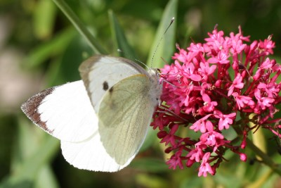 White butterfly with black tips to wings and some black spots on bright pink flowerhead