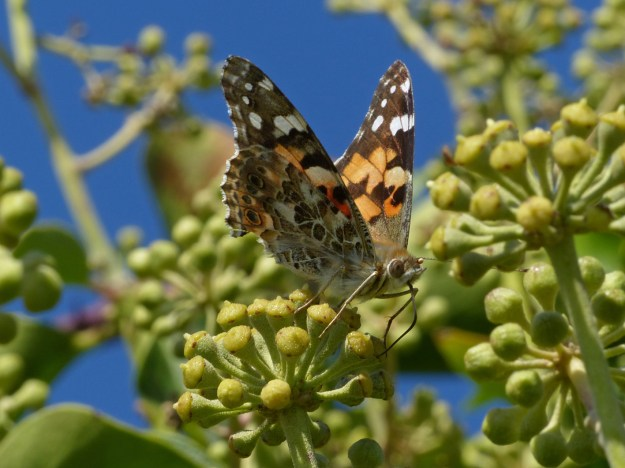 view of a Painted Lady on Ivy flowers with wings half open