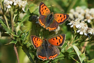 Two orange and brown butterflies with open wings