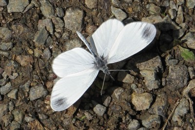 White butterfly iwth grey circular splodges on its wing tips
