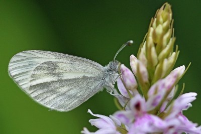 White and pale grey butterfly on the top of a flower spike