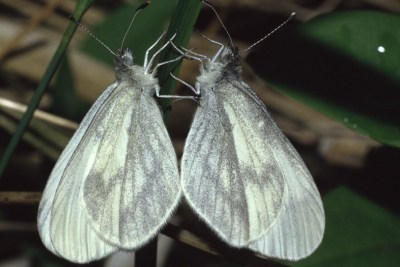 Two white butterflies with indistinct grey markings clinging to a grass stalk