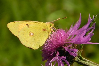 Yellow butterfly with a white spot and green eyes