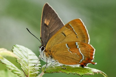Butterfly with orange underwings and brown upperwings