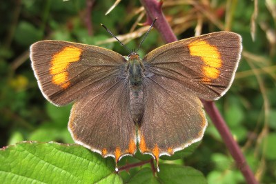 Brown butterfly with wide orange crescents on its wings and orange tails