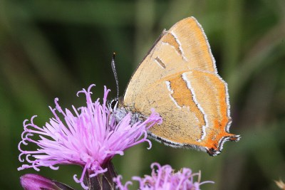 Side view of butterfly with pale brown wings with orange and white markings