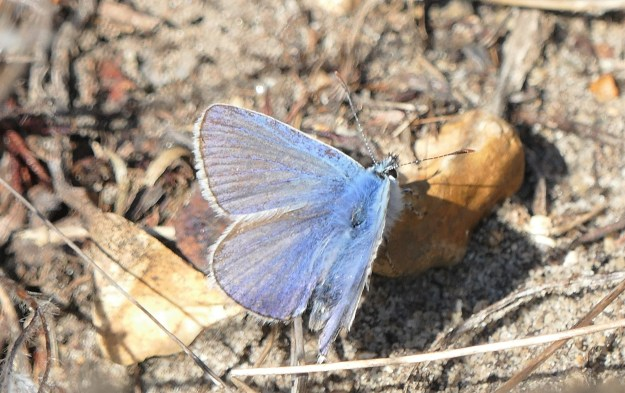 view of a late Common Blue resting on the ground