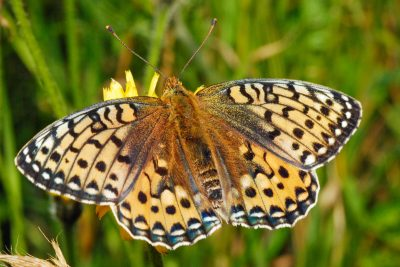 Pale orange butterfly with a complicated series of dark marks