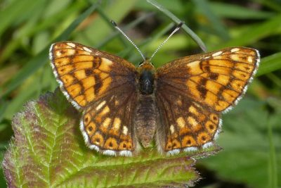 Pale orange butterfly with brown markings, and brown towards the body
