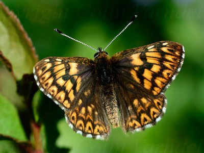 Small brown and pale orange butterfly with open wings