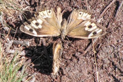 Brown butterfly with open wings facing one at right angles which has closed wings