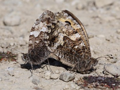 Two butterflies in mating position, both in various shades of mottled brown