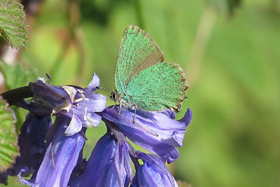 Side view of a green butterfly with some pale brown towards the back of its forewing.