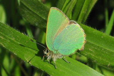 Side view of a green butterfly with one white spot on the hindwing