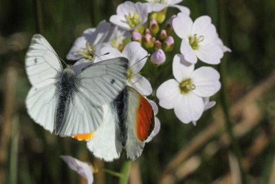 White butterfly above a white with orange wing tips butterfly on a flower.