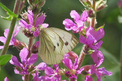 White butterfly with undersing veining, and black spot plus wingtip black mark on upperwings. On abright pink flower.