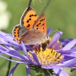 Orange and brown butterfly on a purple daisy flower