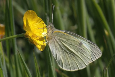 Side view of butterfly with crealy underwings, though black markings show through from the upper side.