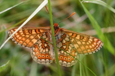 Orange, cream and brown butterfly clinging to a grass stalk, taken from underneath