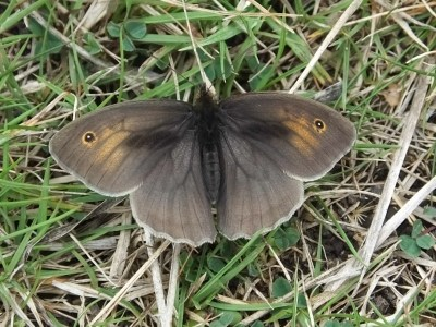 Dark greyish-brown butterfly with eyspots on grass