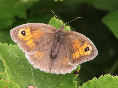 Butterlfy with plainish brown hindwings and foewings with an area of orange and eyespots