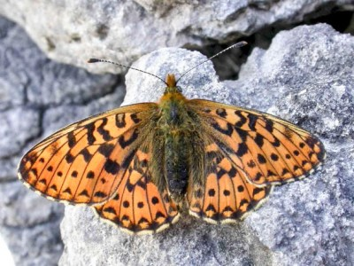 Orange butterfly with a pattern of dark marks, wings open, on a stone