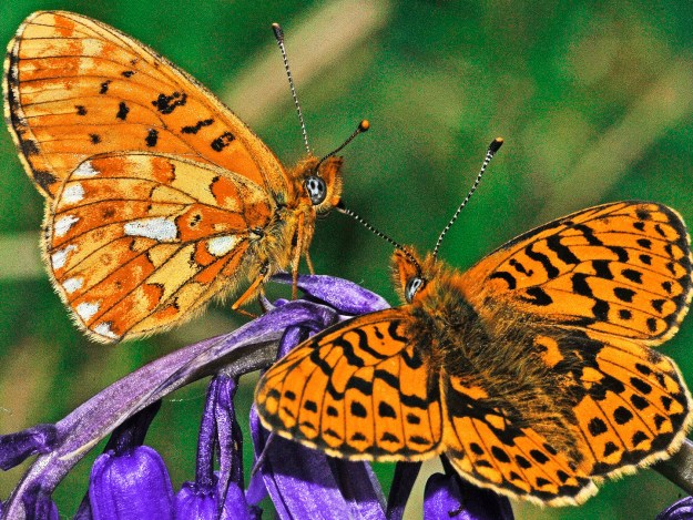 Two mainly orange butterflies on a bluebell