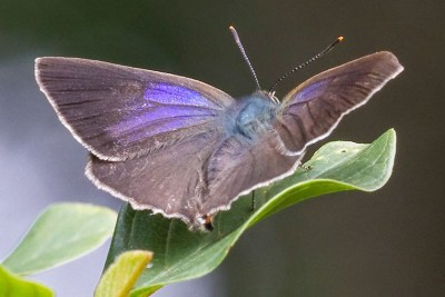 Brown butterfly with white fringes and a prominent splash of purple on each forewing.