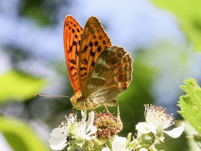 Orange butterfly with white markings underneath