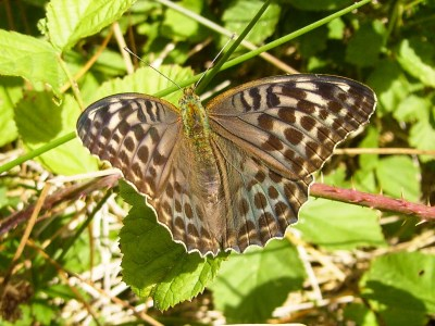 Butterfly with pale background to wings, overlain with bronze/green wash and with dark brown markings.