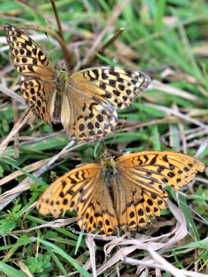 Two orange with darker markings butterflies, one lighter than the other