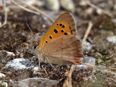 Sidways view of a butterfly. Forewing is orange with black marks, hindwing is plain light brown