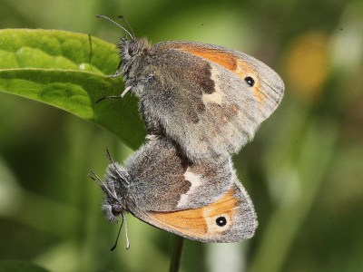 Side view of two butterflies in mating position, each with hindwing in various shades of brown and forewing orange with a black eyespot