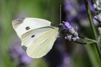 Butterfly which is white on otp with a balck spot and black wingtip, but creamy yellow underneath.