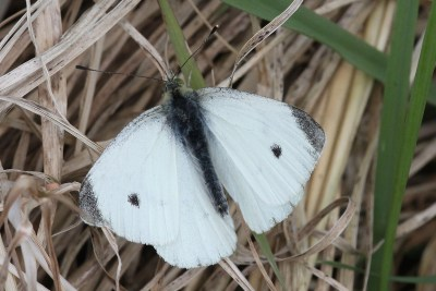 White butterfly with black body, black tips to the wings and a balck spot on each forewing