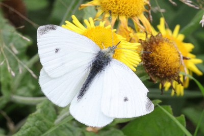 Open-winged white butterfly with grey wingtips and a small greyish-black spot in the centre of each forewing.