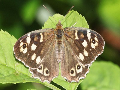 Dark brown butterfly with cream patches