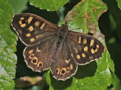 Dark brown butterfly with cream markings