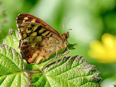 Side viewof a butterfly with a brown background and cream marks