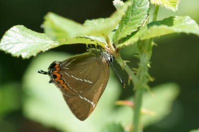 Brown butterfly with white lines, orange spots and a tail clinging to the underside of a brambe leaf