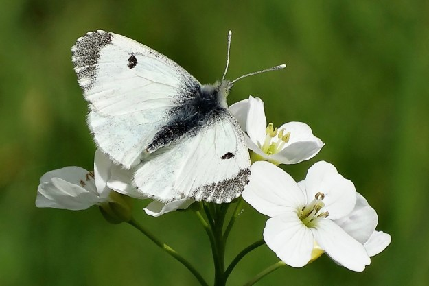 view of an Orange Tip female nectaring on a Cuckoo flower showing upper wings