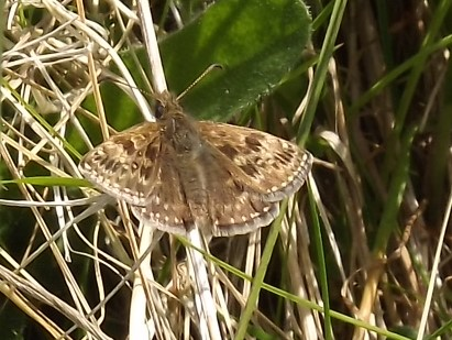 v iew of a Dingy Skipper resting on grass showing upper fore and hind-wings